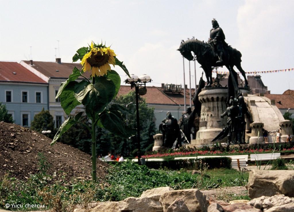 Cluj, la începutul anilor 2000, Piața Unirii devenise o... pășune, unde creștea nestingherită floarea soarelui/ foto: Nicu Cherciu