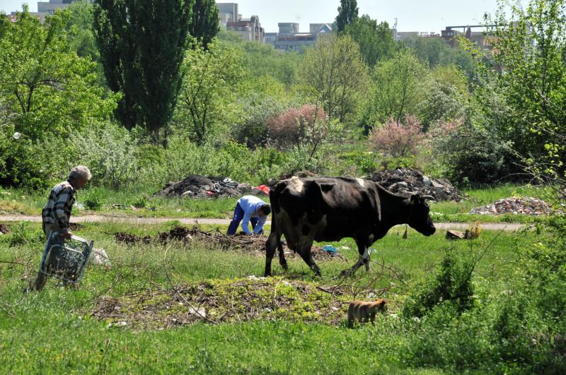 Turul Marilor Tunuri la Craiova, unde vacile pasc printre gunoaie lângă strada principală, deși se cheltuie zeci de milioane de euro pentru modernizare