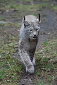 Lynx lynx/ Râsul (Foto: Ioan Duma)