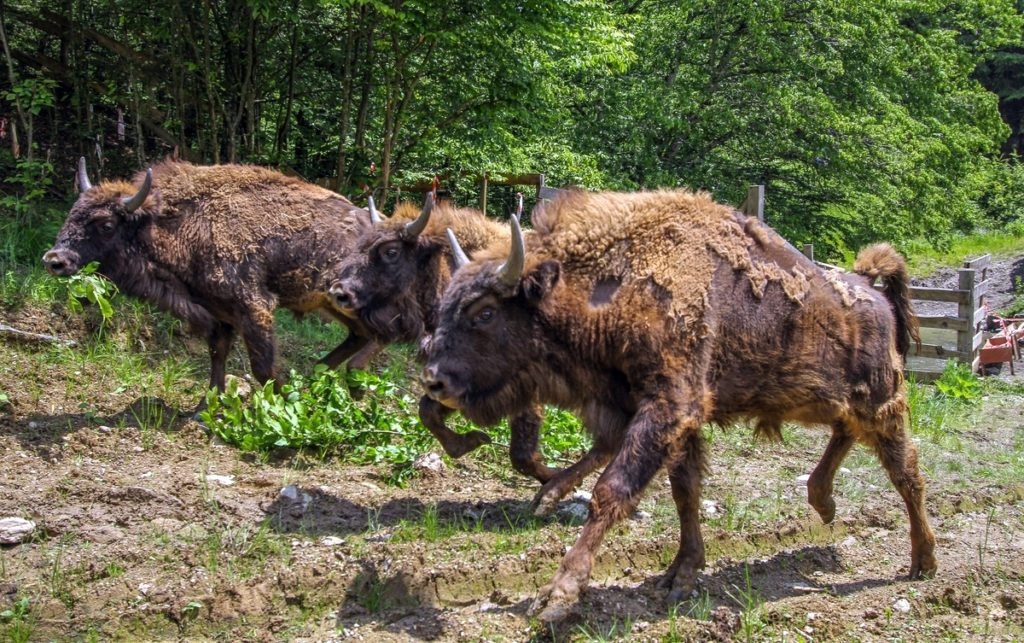Bison release in the Southern Carpathians rewilding area, Romania