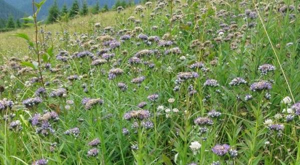 Rarissima floare albastră prezentă la nivel mondial doar într-un mic colțișor al Carpaților Orientali, e plăcută oilor la mâncat și călcat cu copitele
