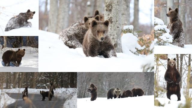 Guvernul pregătește marele masacru al urșilor