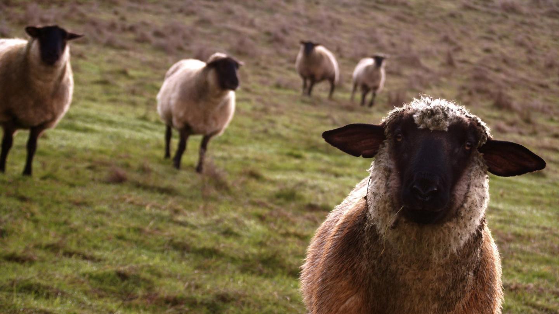 Păstorul din Banat. Ani la rând, un șef al Consiliului Județean Caraș-Severin a declarat că prosperă din agricultură. DNA l-a surprins însă în flagrant mulgând nu lapte, ci mită
