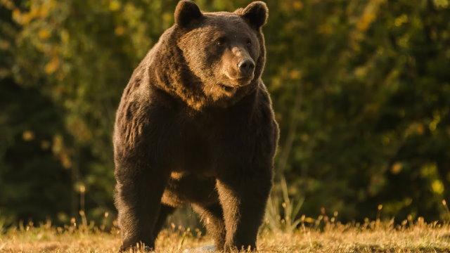 Ursul uriaș Arthur, împușcat de un prinț austriac la Ojdula, Covasna într-o arie naturală protejată